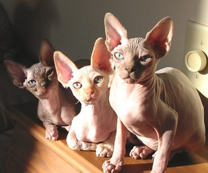 bald, cat, and hairless image