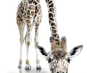 art, brown, and giraffe image