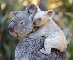 adorable, animal, and Koala image