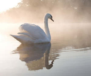 Swan, lake, and water image