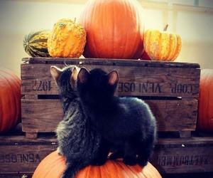 cat, autumn, and pumpkin image