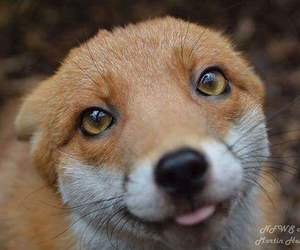 fox and ❤ image