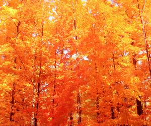 autumn, orange, and trees image