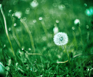dandelions, grass, and green image