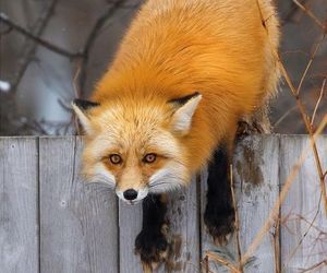 animals, fox, and lovely image