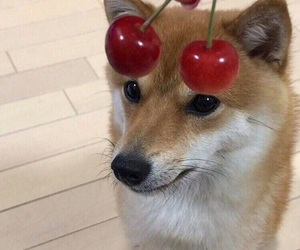 dog, cute, and cherry image
