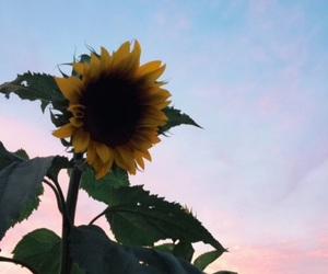 beautiful, sunflower, and love image