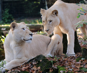 animals, lioness, and daughter image