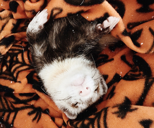 animals, ferret, and ferrets image