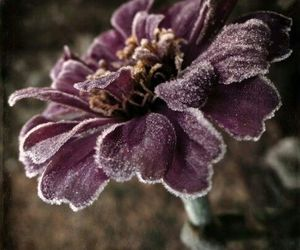 lavendar, plum color, and frosted flower image
