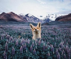 fox, animal, and mountains image