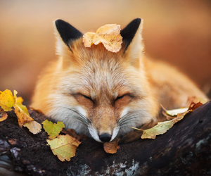 autumn and fox image