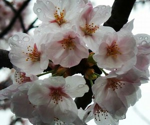 beauty, cherryblossom, and flowers image