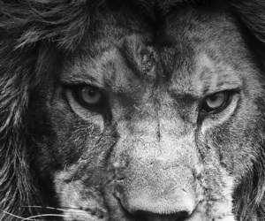 b&w, lion, and wallpaper image