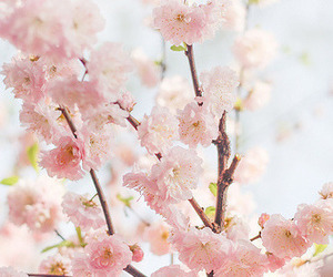 asia, flowers, and cherry blossom image
