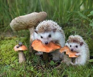 animals, hedgehog, and cute image