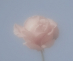rose, aesthetic, and flower image