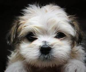 dog, paws, and shih tzu image