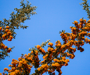 berries, blue sky, and fall image