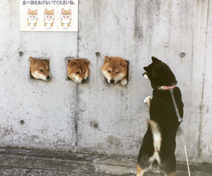 dogs, japan, and shiba image