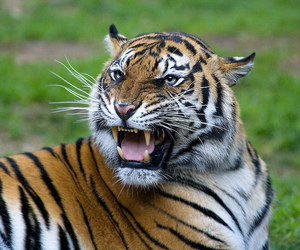 big cats, cat, and mammal image