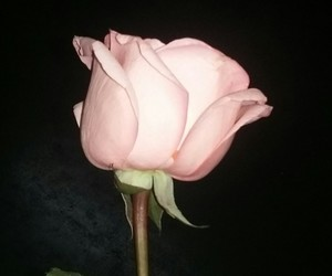 inlove and rose image