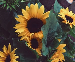 beautiful, sunflowers, and floral image