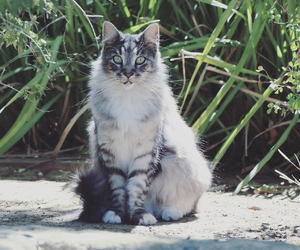 cat, maine coon, and mainecoon image
