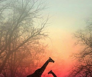africa, animals, and giraffe image