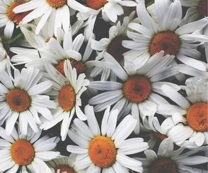 aesthetic, daisies, and flower image