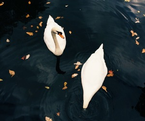 autumn, swans, and water image