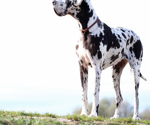 animals, great dane, and dogs image