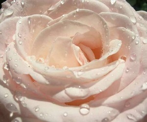 aesthetic, rose, and flower image