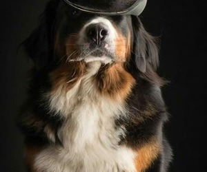 animals, bernese mountain dog, and dogs image