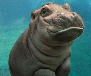 animal, baby, and hippo image