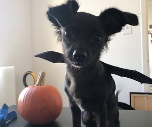 adorable, bat, and dog image