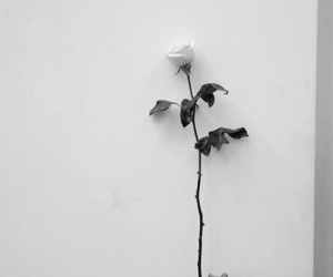 rose, flower, and black and white image