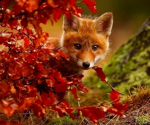 autumn, leaves, and fox image