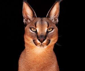 animal, big cat, and cat image