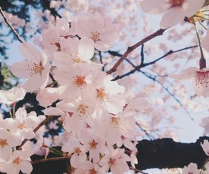 aesthetic, beauty, and cherryblossom image