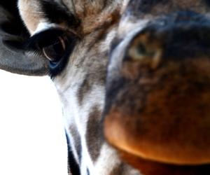 animal, giraffe, and zoo image