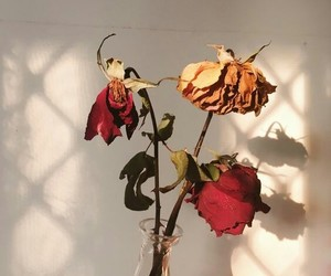 beauty, dying, and roses image