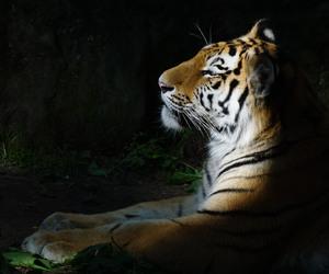 big cat, cub, and siberian tiger image