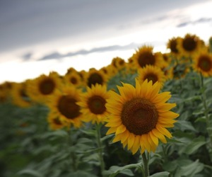 beautiful, cloudy, and sunflowers image