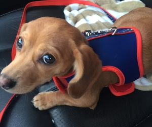 dogs, pets, and chiweenie image