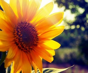 sunflower, flower, and sun image