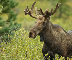Moose http://creatures-alive.tumblr.com/post/165491569991/moose-alces-alces-ii-by-pauleklein