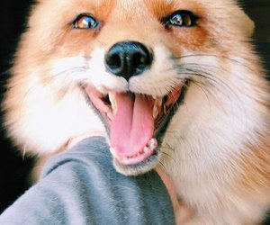 fox, animals, and smile image