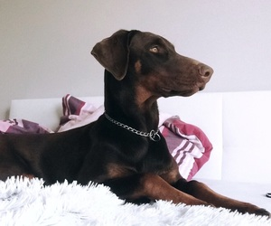 doberman, doberman pinscher, and dog image