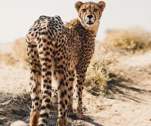cat, cheetah, and cute image